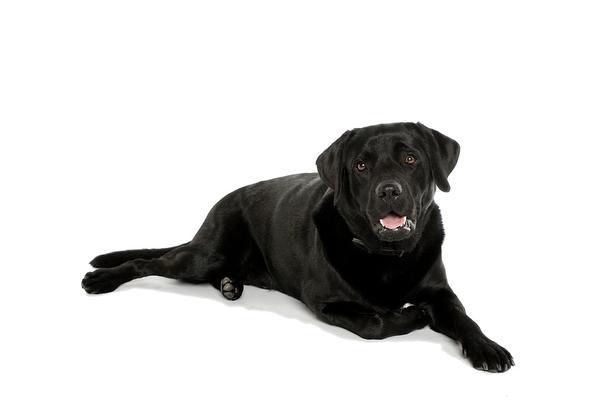 labrador biszkoptowy - szczeniak z hodowli